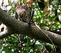 Shikra (Accipiter badius) with a Garden Lizard W IMG 8979.jpg