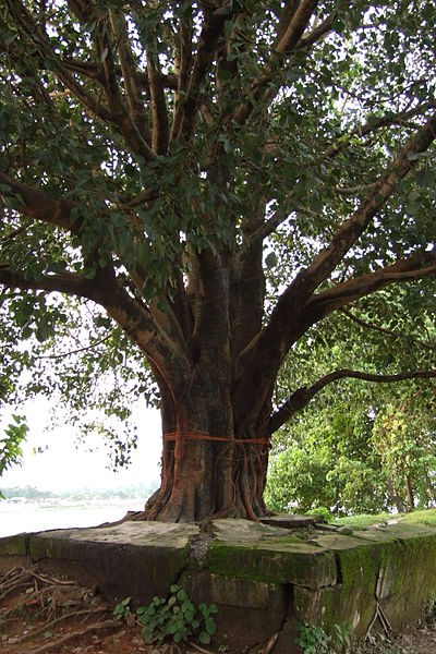 Siliguri-peepal-tree-1.JPG