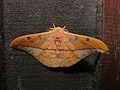 Silkmoth (Cricula trifenestrata) (6707986343).jpg