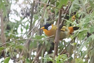 Silver-eared mesia - Subspecies M.a.argentauris from Neora Valley National Park; India.