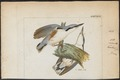 Sitta himalayensis - 1820-1860 - Print - Iconographia Zoologica - Special Collections University of Amsterdam - UBA01 IZ19200319.tif