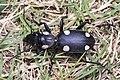Six-spot ground beetle (25125412591).jpg
