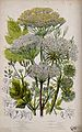 Six flowering plants, including angelica (Angelica species) Wellcome V0044128.jpg