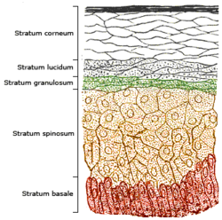 The epidermal strata of the skin. Production is greatest in the stratum basale (colored red in the illustration) and stratum spinosum (colored orange).