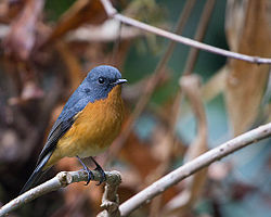 Slaty-backed Flycatcher.jpg
