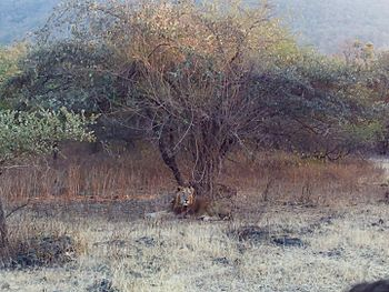 Sleeping lion - Gir Forest5.jpg