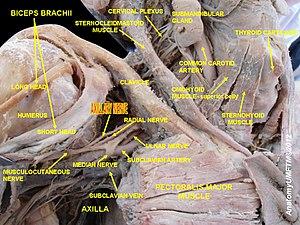 Axillary nerve - Image: Slide 6a