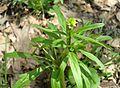 Small-flowered Buttercup, Littleleaf Buttercup (Ranunculus abortivus) - Flickr - Jay Sturner.jpg