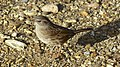 Small bird, big shadow - Dunnock (10646644643).jpg