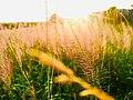 Small grass in focus.jpg