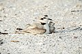 Snowy Plover with nestling, Florida (125296577).jpg