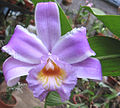 Sobralia decora - Tapanti region of Costa Rica.jpg