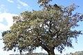 Sobreiro do Largo da Igreja - Parada de Todeia, Paredes - 07.jpg