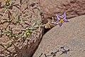 Solanaceae sp.-CTJ-IMG 6339.jpg
