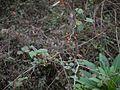Solanum ¿ species ? (5595834094).jpg