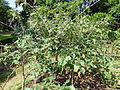Solanum americanum-Jardin botanique de Kandy (1).jpg