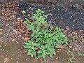 Solanum americanum (17305867976).jpg