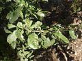 Solanum diphyllum (4610553337).jpg