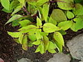 Solenostemon scutellarioides Chicago.JPG