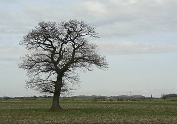 English: Solitary oak Most trees on the Moors ...