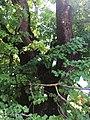 Sommer-Linde 02 Keutschach.jpg