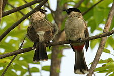 Sooty-headed Bulbuls.JPG