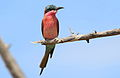 Southern carmine bee-eater, Merops nubicoides, at Mapungubwe National Park, Limpopo, South Africa (24153354711).jpg
