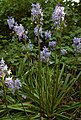Spanish Bluebells - geograph.org.uk - 422936.jpg
