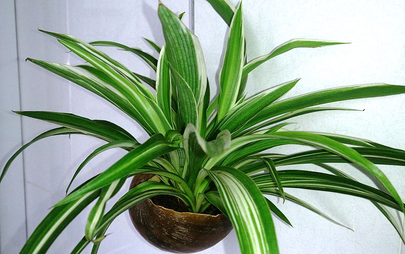 Spider Plant. Credit: Wikimedia Commons