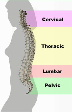 Spinal column curvature.png
