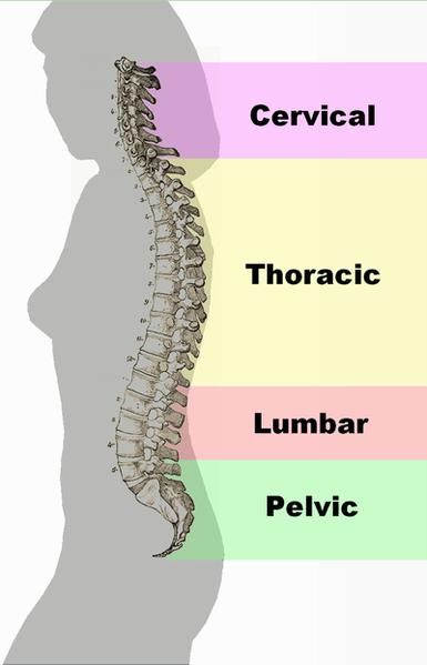385px-Spinal_column_curvature.png