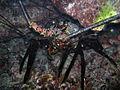 Spiny lobster in Midway Atoll's lagoon. (6672477069).jpg