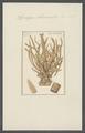 Spongia alcicornis - - Print - Iconographia Zoologica - Special Collections University of Amsterdam - UBAINV0274 112 02 0017.tif