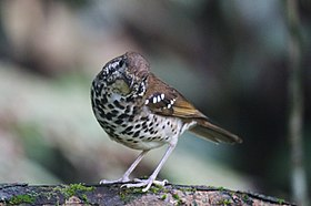 Spot-winged Thrush.jpg