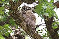 Spotted Owl (immature) - John Yerger - Pinery Canyon Campground - Cave Creek - AZ - 2015-07-30at13-40-004 (20125578183).jpg