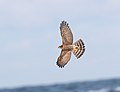 Spurvehauk, Eurasian Sparrowhawk.jpg