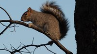 File:Squirrel squawking in Central Park (92123).webm