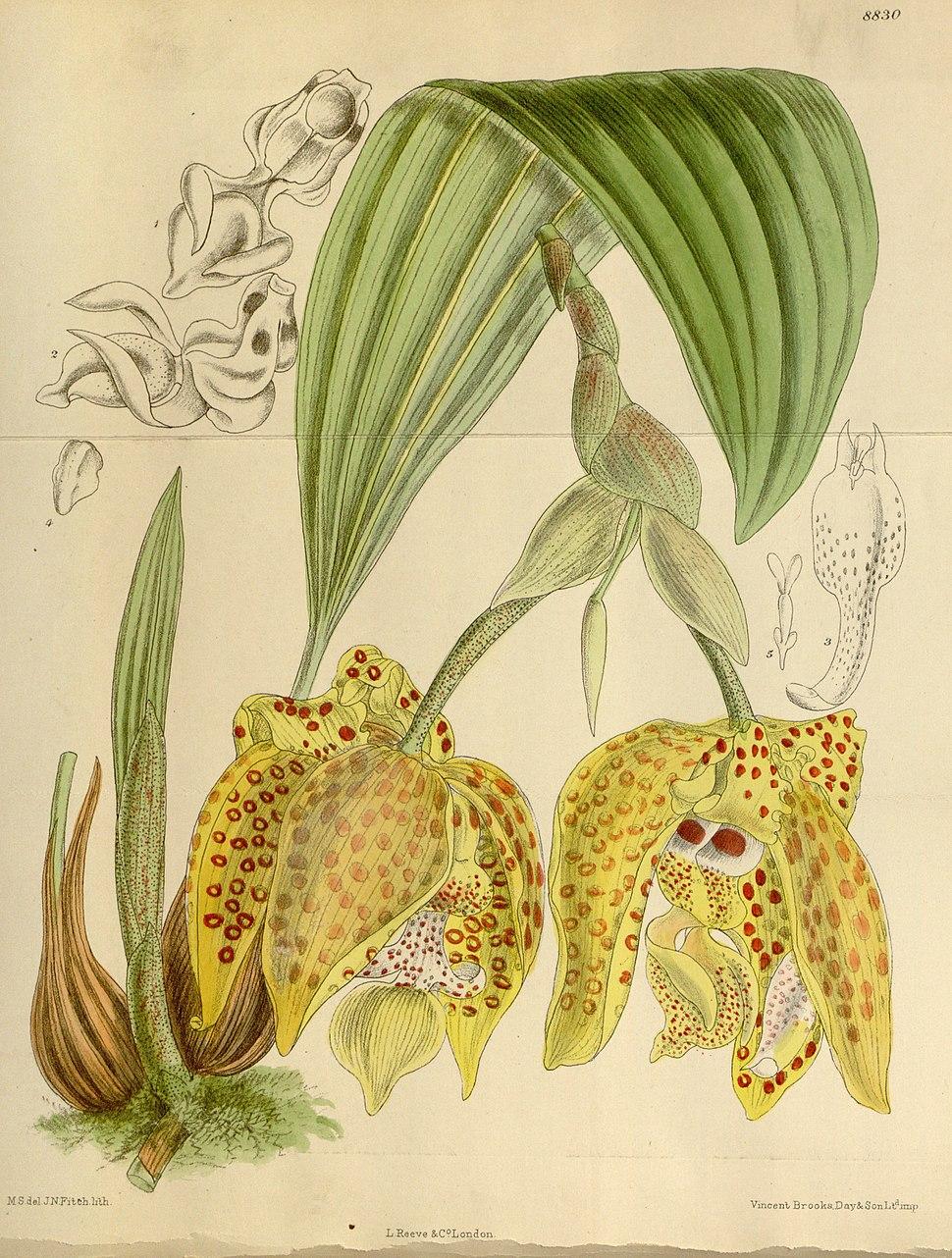 Stanhopea costaricensis - Curtis 146 (ser, 4 no. 16) pl. 8830 (1920)