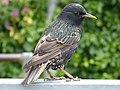 Starling (7481510872).jpg