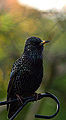 Starling Portrait (11294686096).jpg