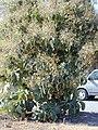 Starr-010304-0482-Tectona grandis-fruiting habit-Kihei-Maui (23905191543).jpg