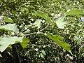 Starr-010425-0094-Solanum torvum-branch-Haiku-Maui (24236983900).jpg