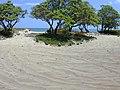 Starr-020628-0040-Tournefortia argentea-road cuts and rocks protecting dune vegetation-Kanaha Beach-Maui (23923378333).jpg