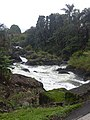 Starr-031210-0025-Cordyline fruticosa-rushing stream-Hana Hwy-Maui (24381450600).jpg
