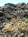 Starr-050419-6519-Panicum fauriei var carteri-habit-Mokolii-Oahu (24119364003).jpg