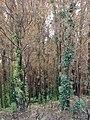 Starr-070908-9276-Eucalyptus globulus-rebounding after fire-Polipoli-Maui (24892916675).jpg