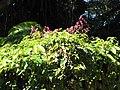 Starr-090610-0464-Antigonon leptopus-flowers and leaves-Haiku-Maui (24668106620).jpg