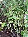 Starr-090611-0627-Glycine max-plants in garden-Olinda-Maui (24870819791).jpg