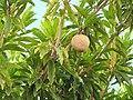 Starr-090713-2601-Manilkara zapota-fruit and leaves-Lahaina-Maui (24876074221).jpg