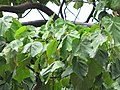 Starr-090720-3130-Ochroma pyramidale-leaves-Tropical Gardens of Maui Iao Valley Rd-Maui (24343443263).jpg